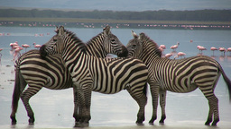 Three zebras in a formation along the edge of a lake 影片素材