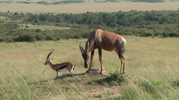 Topi and gazelle on an anthill Footage