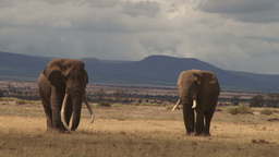 Two bull elephants with mountains in the background Footage