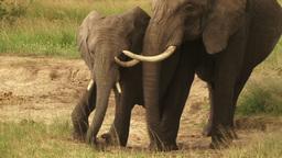 Two elephants jostling for salt lick Footage