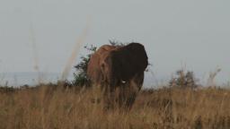 Two elephants walking in a line Footage