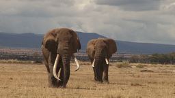 Two Of The Largest Elephants In The Wild stock footage