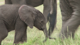 Very young elephant baby Footage