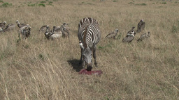 Zebra mother guards her dead baby from vultures Footage