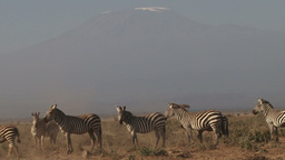 Zebras and kilimanjaro Footage