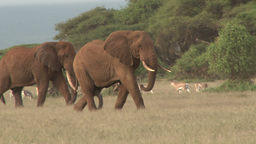 Zoom in of an elephant in musth Footage