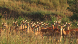 Zoom out of a group of impalas Footage