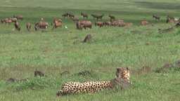 A cheetah watches antelopes from a distance Footage