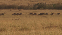 A lion tries to hunt wildebeests but misses Footage