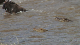 A nile crocodile joins in the hunt for wildebeest croosing mara river Footage