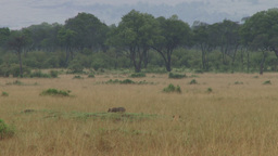 A warthog eating while a lion stalks her Footage