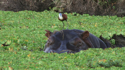 African jacana on the head of a hippopotamus Footage