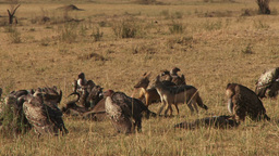 Black backed jackal eating a gnu while vultures wait for their turn 1 Footage