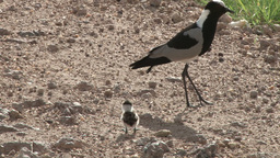 Blacksmith plover with a baby Footage