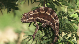Chameleon on an acacia branch Footage