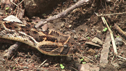 Camouflaged snake moving along the ground Footage