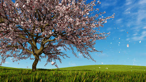 Cherry blossoms and falling petals at spring day, Stock Animation