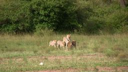 Cheetah cubs help mother transport food Footage