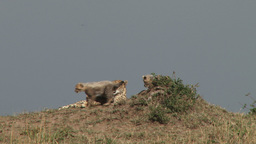 Cheetah mother licking her cubs Footage