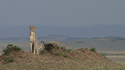 Cheetah mother sitting on an anthill with cubs Footage