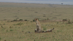 Cheetah mother watching as the cubs play Footage