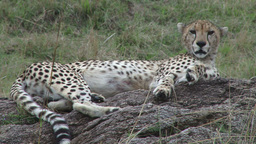 Cheetah resting on a rock Footage