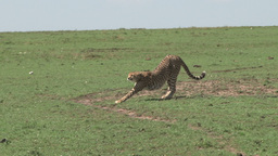 Cheetah walks across the frame of camera Footage