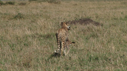 Cheetah walks away with a kill in the mouth Footage
