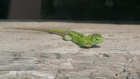 Sand Lizard, Lacerta Agilis Footage