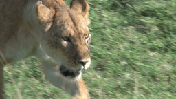 Close up of lioness walking towards the camera Footage