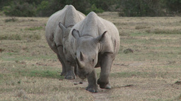 Close up of two black rhinos coming streight towards the camera Footage