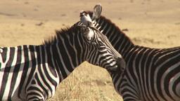 Close up of zebras grooming each otheer Footage