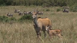 Eland with a baby Footage