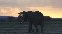 Elephant with the colors of the setting sun Footage