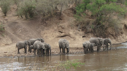 Elephants drinking in a river Footage