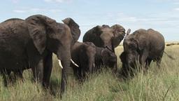 Elephants mudbathing in a small pool Footage