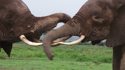 Elephants play or fight lightly Footage