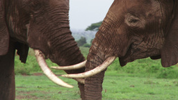 Elephants playing with their tusks Footage