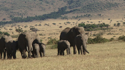 Elephants walking through the plains past the camera Footage