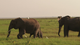 Elephants with egrets Footage