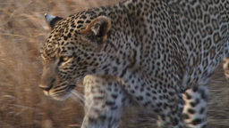 Extreme close up of a leopard Footage