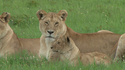 Female lions and young cubs resting Footage