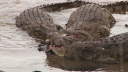 Fighting crocodiles over a meal Footage
