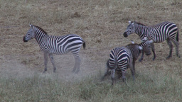Fighting zebras Footage