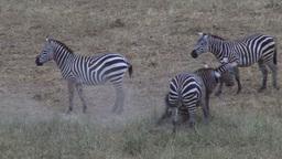 Fighting zebras Footage