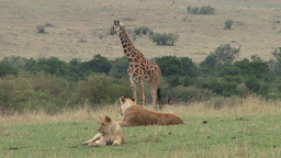Giraffe watching disinterested lions sleeping Footage