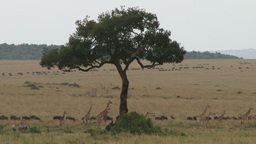 Giraffes and wildebeests migrating to different directions Footage