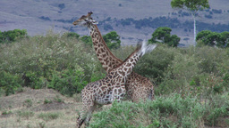 Giraffes fighting inthe bushes of mara Footage