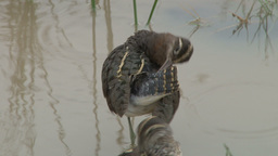 Painted snipe bird grooming his tail feathers Footage