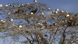 Group nesting of sacred ibis birds Footage